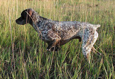 bourbonnais pointer | Bourbonnais Pointer) (Bourbonnais Pointing Dog) (French Pointing Dog ...