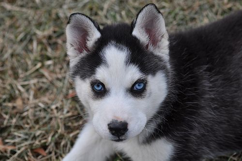 .Brown Eyes, Old Dogs, Dogs Puppies, Blue Eyes, Blue Eye Baby, Huskies Puppies, Husky Puppies, Puppy Eyes, Pretty Eyes