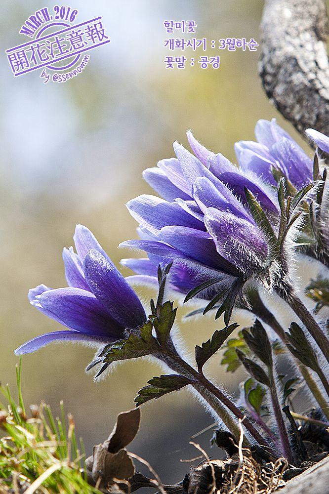 ▶개화주의보(022) 할미꽃 → http://fb.com/blooming.news/photos/1700327800248060