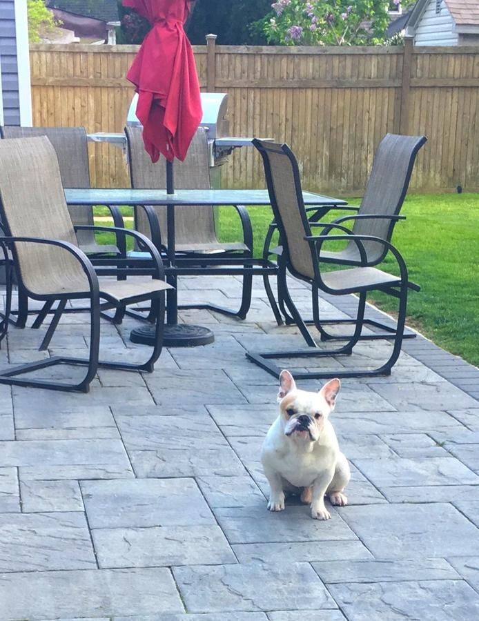 French Bulldog Male Shorty House Trained Very Friendly