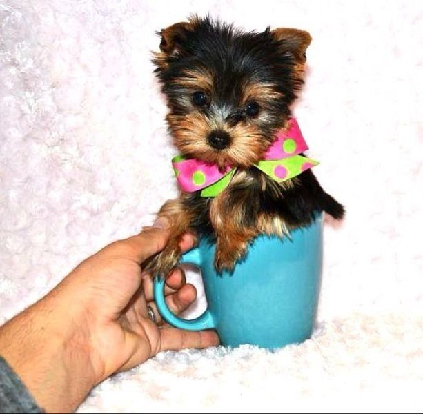 Quality Teacup & Tiny Toy Yorkies | I Dream Of Co-Co