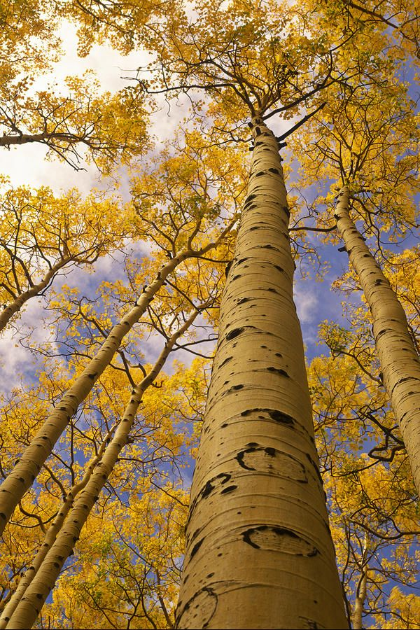 Looking up towering the Aspens - photo: Ralph Lee Hopkins