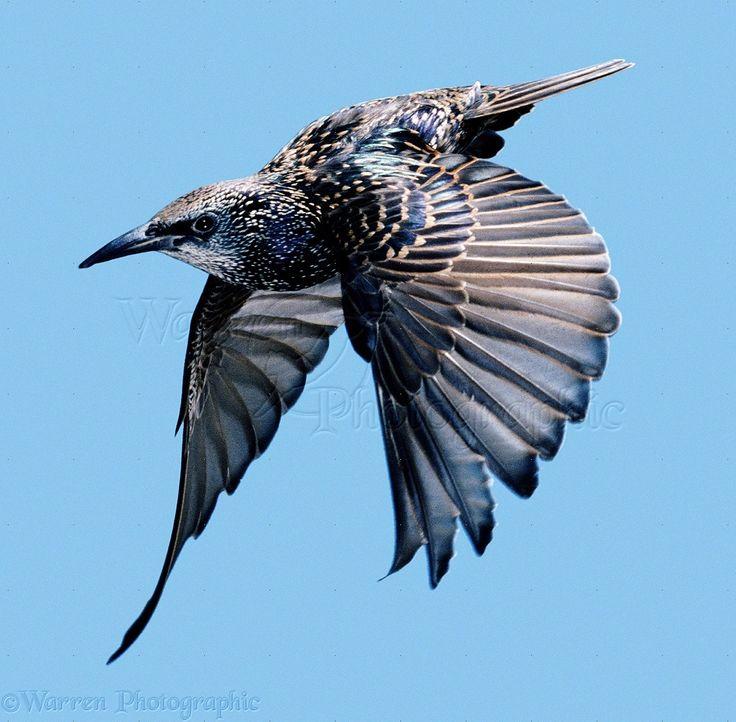 images of starlings in flight | Starling in flight
