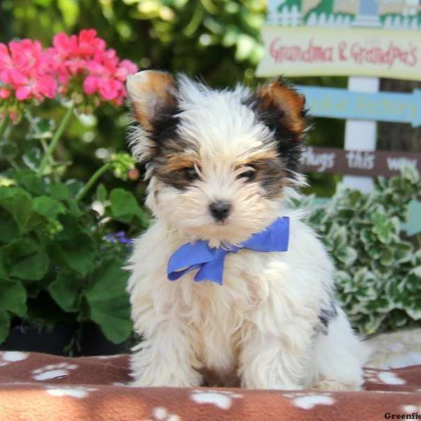 Biewer Terrier Puppies For Sale Biewer Yorkie Yorkshire Terrier
