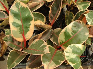 Feeding rubber plant- To produce those massive leaves the Rubber Plant needs feeding. Little and often is best, a weak feed every couple of watering's during Spring and Summer. As with usual feeding rules, don't fertilise in Winter, or recently repotted and new plants for a good 3 to 6 months.