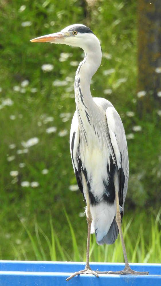Oiseaux - Héron cendré - Ardea cinerea - Sur une passerelle dans le Parc de la plage bleue à Valenton