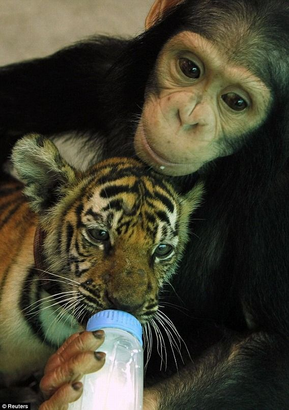 2歳のチンパンジー、トラの赤ちゃんの子育てに大忙し : カラパイア