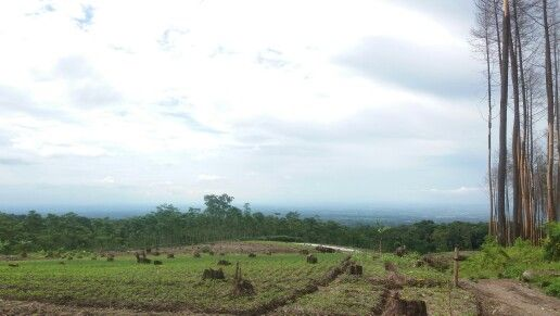 Forest of pinus from ongakan, puncu kab. Kediri  #explorekediri #exploreindonesia