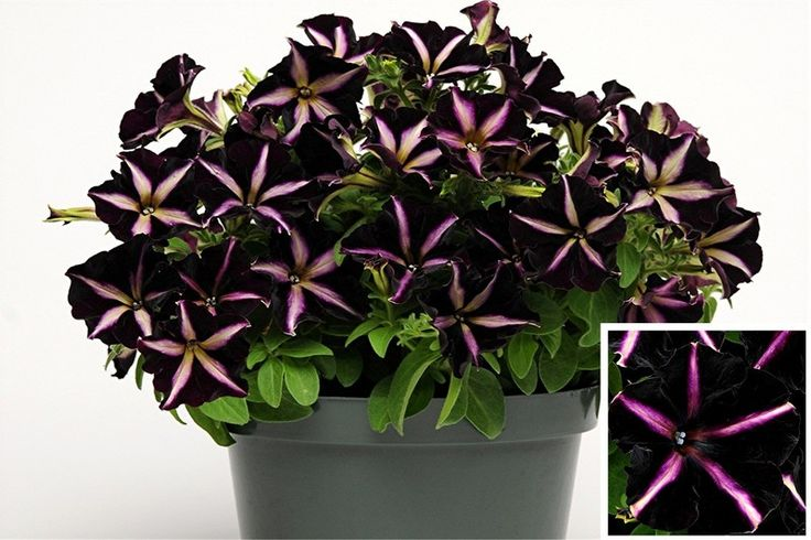 black petunia variety. I have these on my deck....beautiful!: Distinct Petunias, Pinstriping Petunias, Petunias Pinstriping Wil, Big Fans, Black Velvet, Gardens Plans, Decks Beautiful, Plants Black Petunias,  Flowerpot