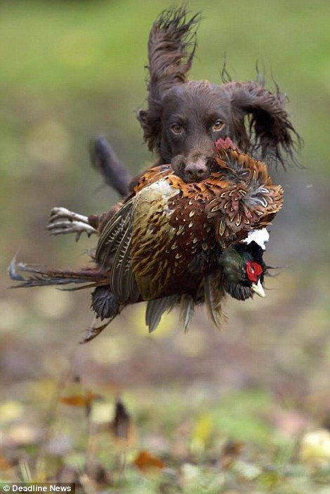 Gamekeeper John MacTavish has captured a series of stunning images including the moment Rusty, a working Cocker Spaniel, retrieved a cock pheasant during a shoot (right)