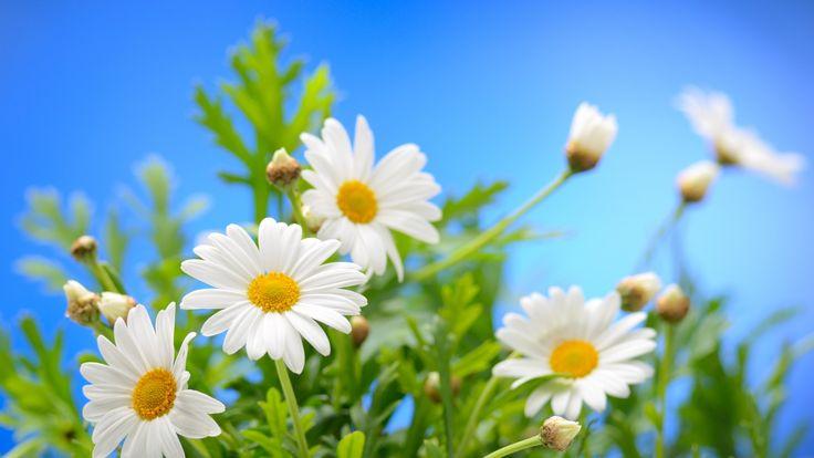 Скачать обои небо, солнце, цветы, ромашки, весна, spring, раздел цветы в разрешении 1600x900