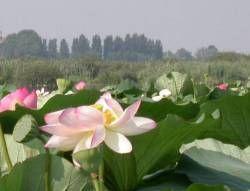 La città di Mantova è famosa per i 3 laghi che la circondano (Lago Superiore, il Lago di Mezzo e il Lago Inferiore ) e per i fiori di loto.