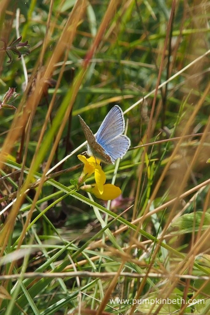 A male Common Blue Butterfly, Polyommatus icarus, resting on a bird's foot trefoil flower, at Pewley Down Nature Reserve in Guildford.