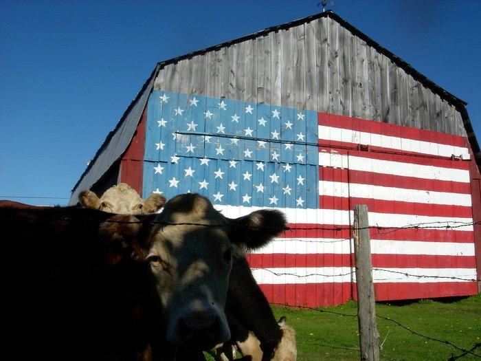 And the old cow just says MOO. / flag barn, Williston #vermont #splendidsummer