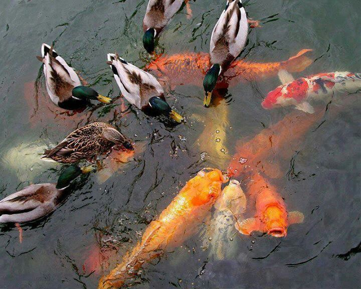 186 best koi images on pinterest koi carp koi ponds and for Exotic koi fish