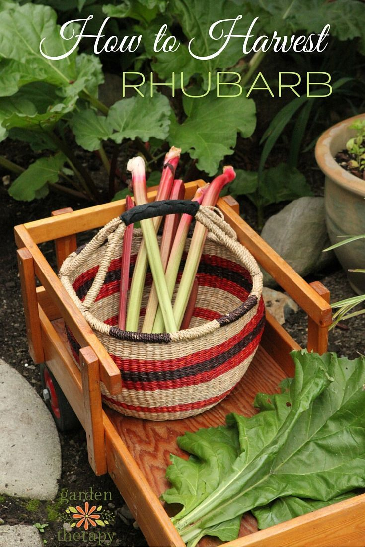 How to plant rhubarb in the fall - Harvest Your Rhubarb The Right Way To Ensure Your Plant Will Continue To Be Fruitful