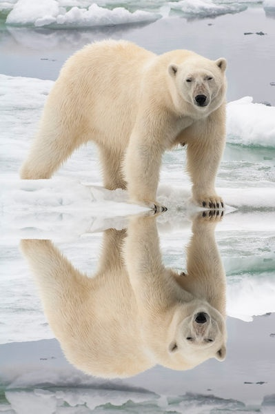Female Polar bear (Ursus maritimus) reflecting in the water, Svalbard Archipelago, Barents Sea, Norway""