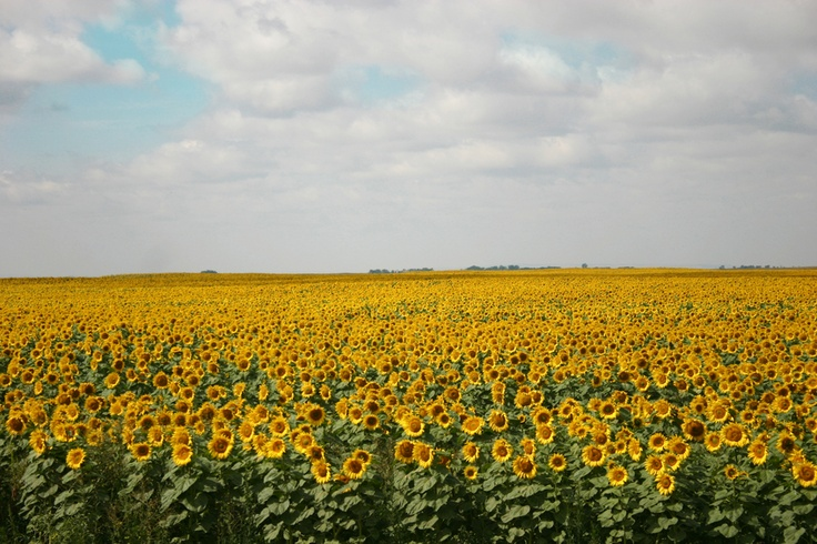 """""""Why did you plant sunflowers? [Edgar] wrote in the margin. He sopped up the hydrogen peroxide like Henry suggested...'Aha. Well, interesting question,' Henry said. He sat and looked out at the field. 'Call it an experiment. Usually, I plant corn, but I wanted to do something different this year. Something out of the ordinary'"""" (406)."""