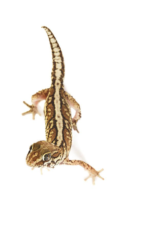#Madagascar - Project #Voiala - Big Headed Gecko Paroedura pictus http://www.favini.com/en/enviroment/voiala/project-voiala/ - Share it on Twitter https://twitter.com/favini_en/status/549855164044423168
