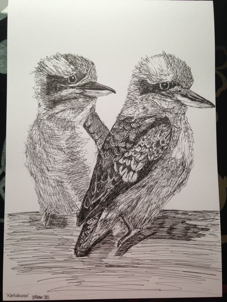 'Kookaburras' for my brother & sis in law's christmas gift :) Pen and ink drawing by Susanna Hobson 2013
