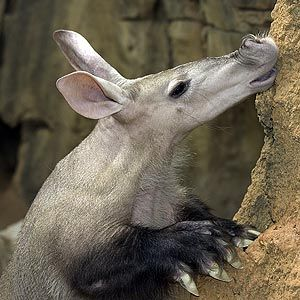 """You have got to love this language!!! - The name aardvark is an early Afrikaans word, and it means """"earth pig"""" or """"ground pig."""" The animals were called this because they live in burrows in the ground, and also they look a little like pigs, even though they are not even remotely related to pigs."""