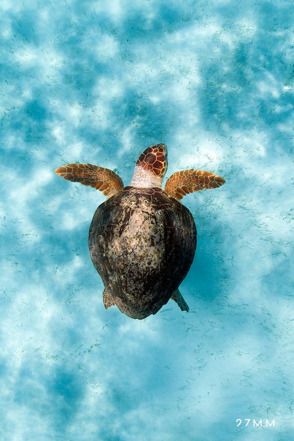 Spending some time with this friendly old turtle. Belize, Caribbean Sea. www.27MM.net