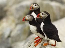 Puffins (søpapegøje in danish). Cute, beautiful and fun looking at the same time