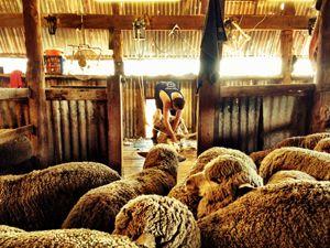 farming people at work shearing sheep