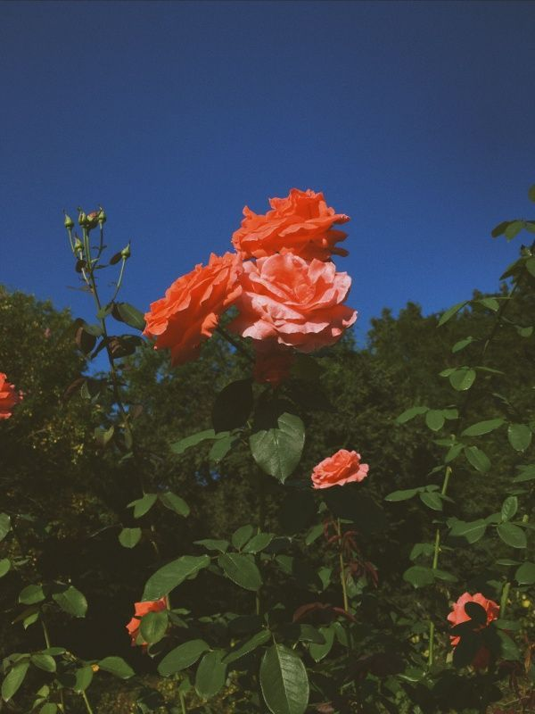 Strong And Powerful Roses Standing Tall Flower Aesthetic