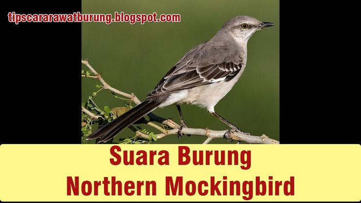 Variasi 1001 Suara Northern Mockingbird Mantab Untuk Masteran Burung Gan