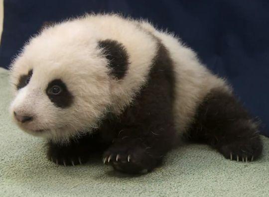 baby panda video san diego zoo