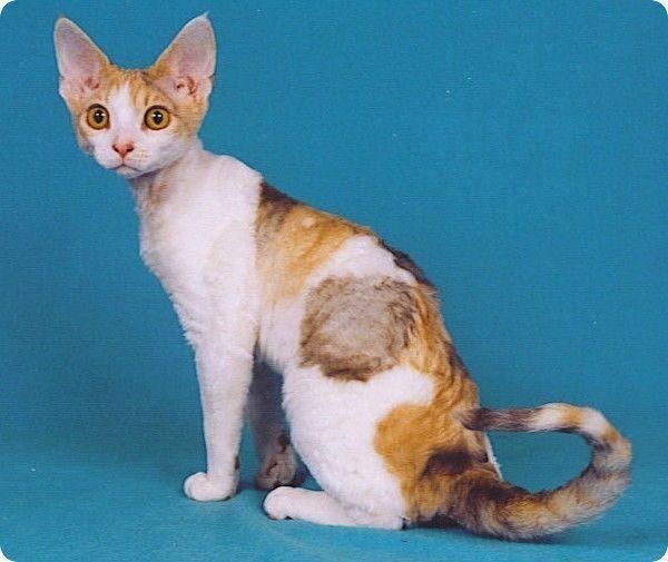 Chat Devon Rex Ecaille De Tortue Et Blanc - Viral Kittens