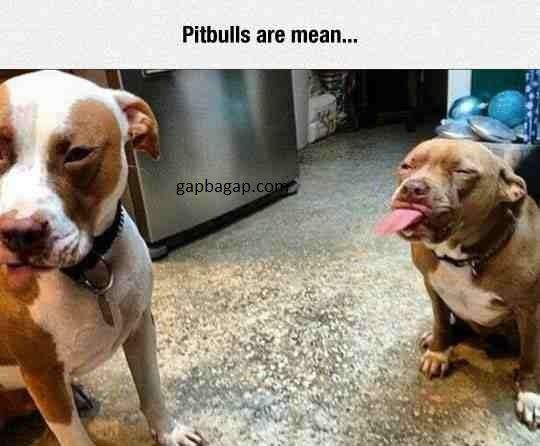 Funny Memes About Pitbulls
