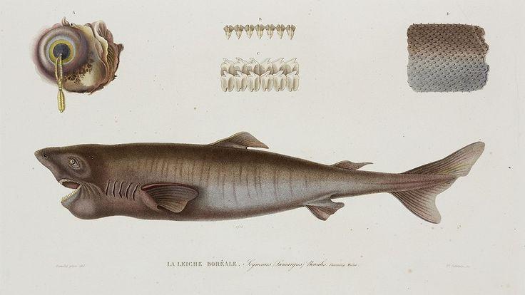 Newsela   Greenland sharks claim the crown for longest living vertebrates – 400…