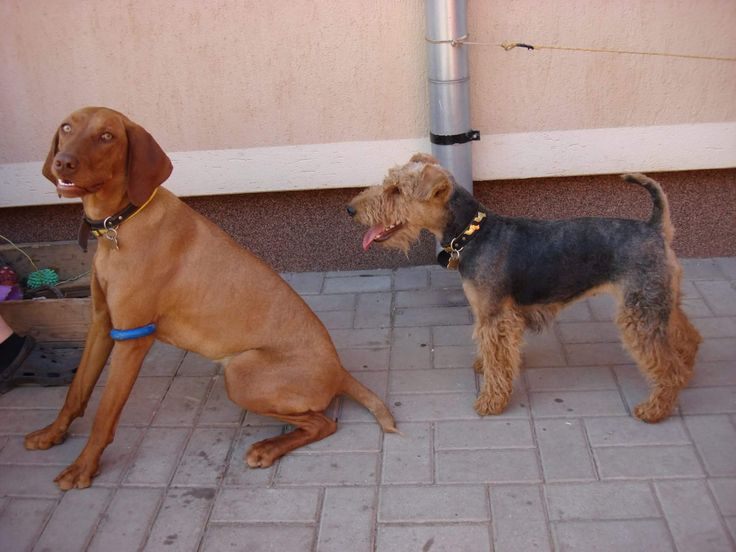 My hungarian vizsla and my welsh terrier.  Hungarian vizsla's name is Polly and welsh terrier's Zizi.
