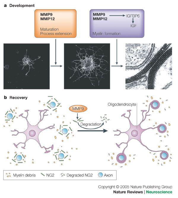44 best mind over matter images on pinterest nervous system human oligodendrocytes google search fandeluxe Choice Image