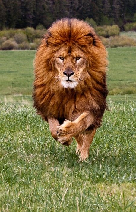 Oh my my.. Here's comes The Lord, the king of the jungle.