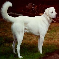 The Akbash Dog was developed in medieval Turkey for guarding sheep.  Today it is often used against coyotes in the American West.  It is suspicious of strangers, whether canine or human, adult or child, and does not train easily.  The Akbash is not recommended for urban living.  Its combination of topcoat & undercoat provide good protection from cold.