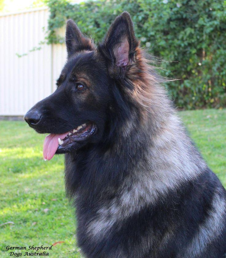 From my GSD FB Page German Shepherd Dogs Australia. My Gorgeous boy Cujo age 18 Months https://www.facebook.com/German.Shepherd.Dogs.Australia?ref=tn_tnmn