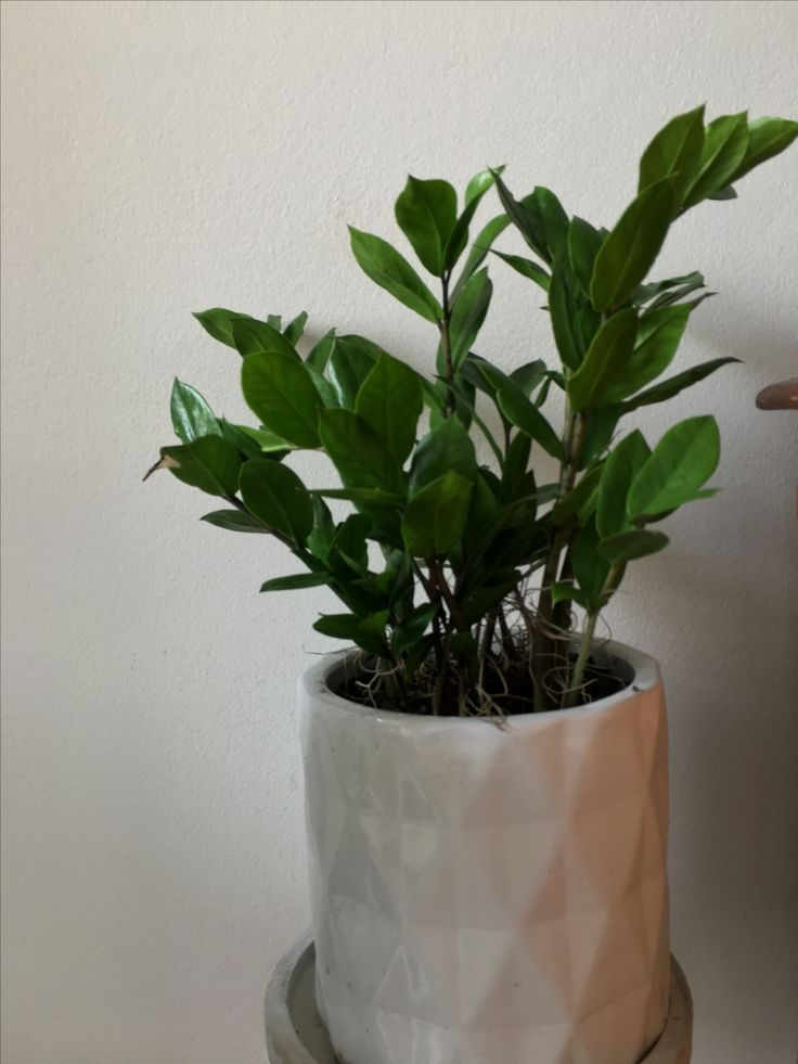 Zamioculcas zamiifolia - ZZ Plant Bright to moderate light. Need little water only water when soil has dried out. Don't need fertiliser maybe once a year