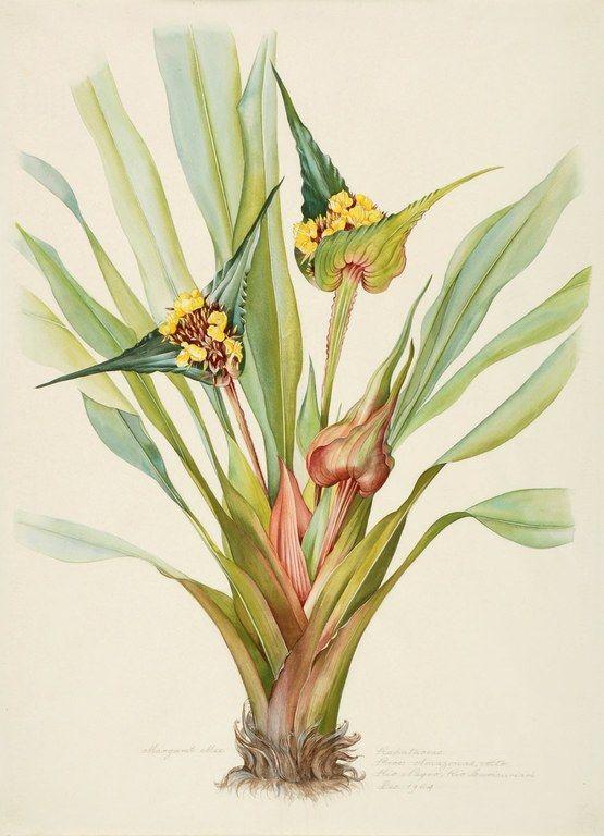 Margaret Mee, 1964 -- Rapataceae  Proc: Amazonas, Alto  Rio Negro, Rio Curicuriari  Dec. 1964