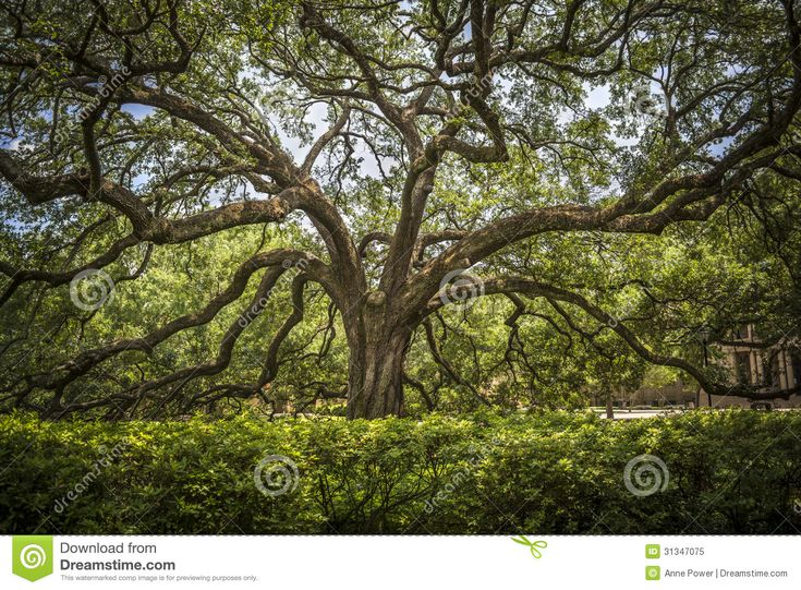Southern Live Oak Royalty Free Stock Photo - Image: 31347075