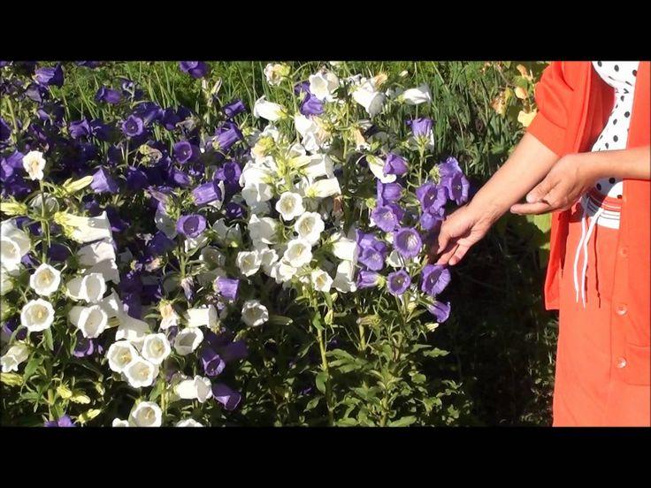 Колокольчики цветут дважды. Сайт sadovymir.ru