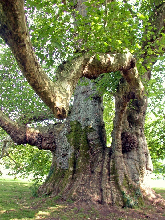 An Ancient Tree in Mottisfont Abbey, Hampshire.