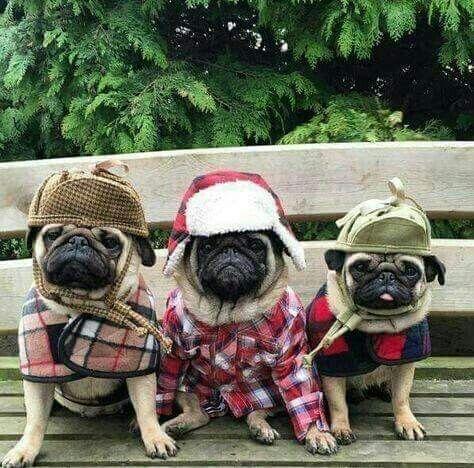 Fashionable Pugs