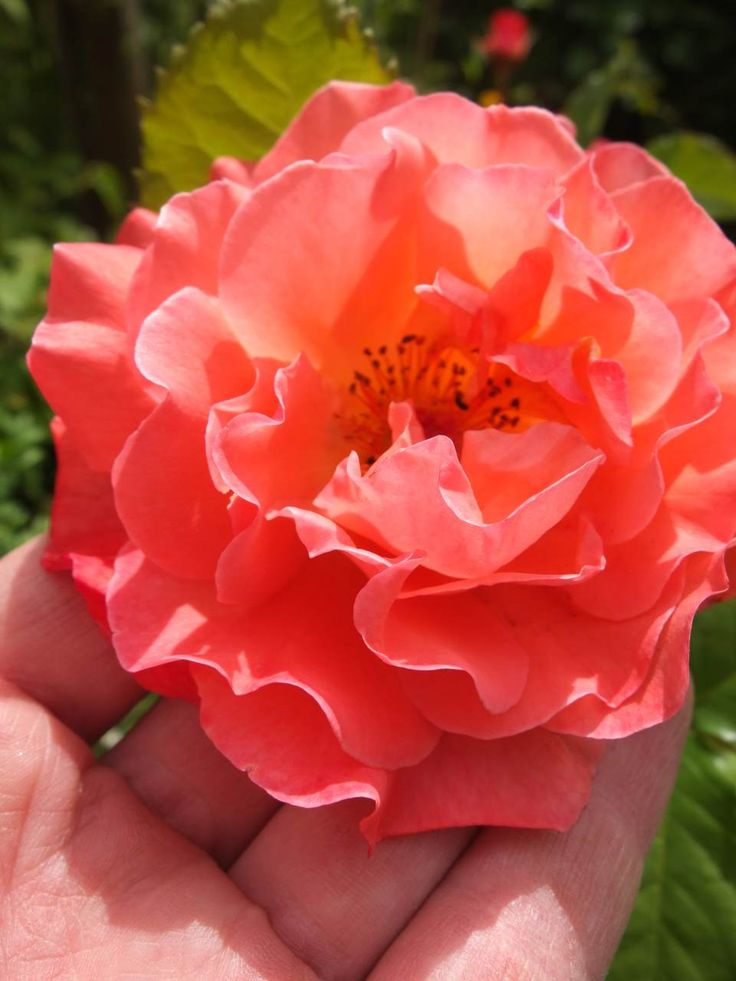 Rose Westerland