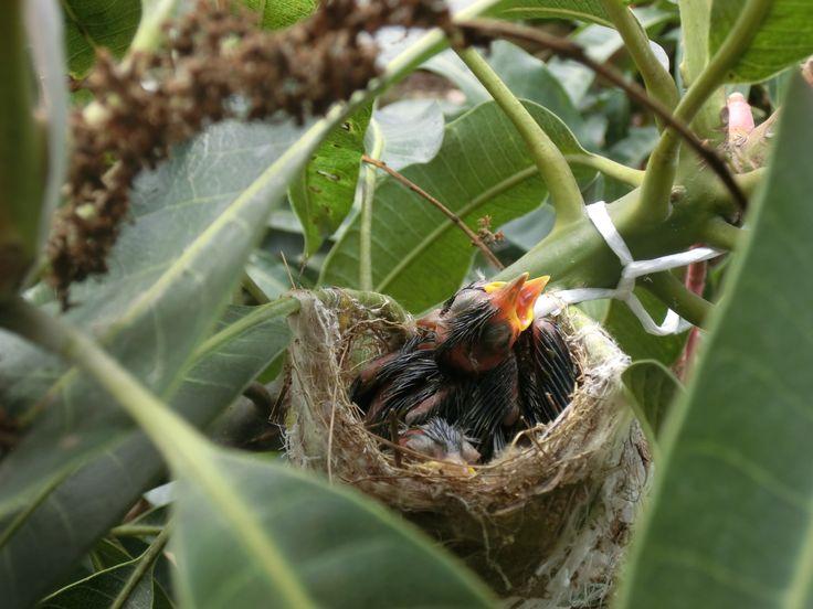 three baby MEJIRO (Japanese White Eyes) in a mango tree