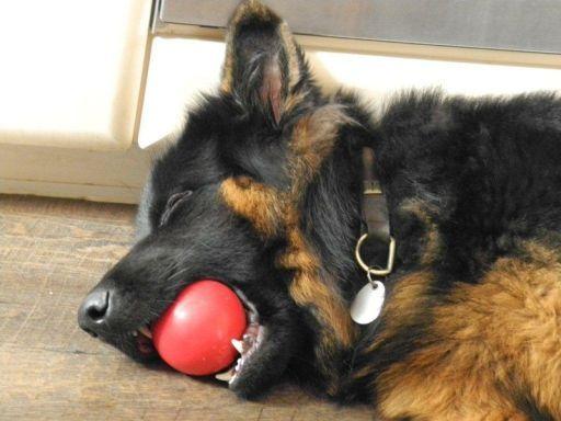 Altdeutscher Schäferhund / German Shepherd Dog