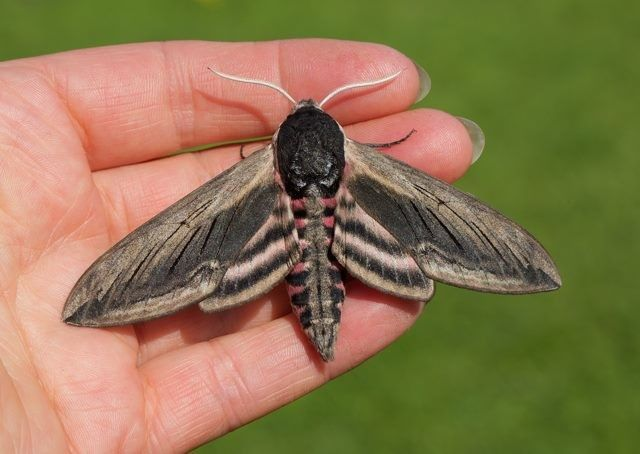 The Privet Hawk Moth Sphinx Ligustri Is The Uk S Largest Resident Hawk Moth With A Wingspan Of Up To 12cm Mothnight F Moth Hawk Moth Butterfly Conservation