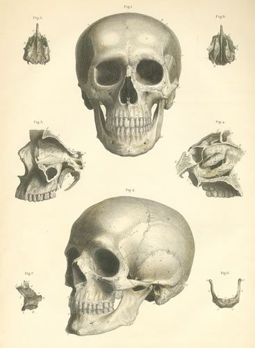 Anatomy of the skull. Great for Halloween clip art projects.